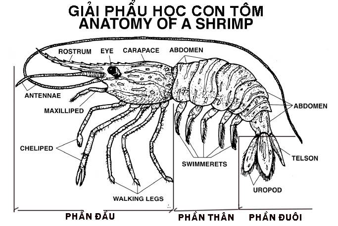 cach-chien-tom-thang-shrimp-anatomy